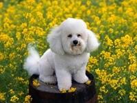 Собака бишон фризе в желтых цветах