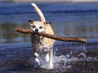 Собака с палкой в зубах