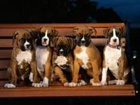 Пять щенков боксеров на лавочке