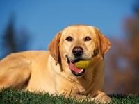 Лабрадор лежит с мячом в зубах
