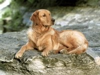 Большая собака лежит на камне