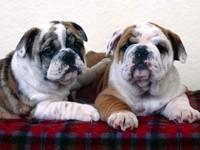 Двое щенков бульдога на одеяле