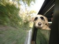 Собака в очках выглядывает из окна автомобиля