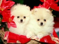Два белых  шпица в красных цветах
