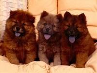 Три щенка чау чау