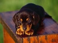 Маленький щенок темного окраса
