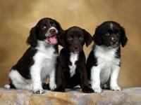 Трое щенков английского спрингер спаниеля