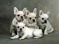 Четверо щенков бульдога французского