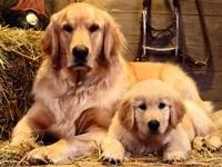 Собака со щенком на сене в сарае