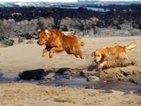 Собаки в прыжке через лужу