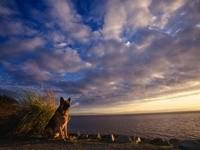 Немецкая овчарка у моря на восходе солнца