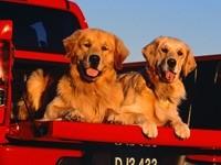 Два собаки в кузове машины