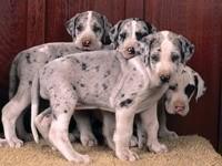 Четверо щенков мраморного дога