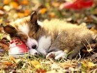 Щенок шетландской овчарки  спит