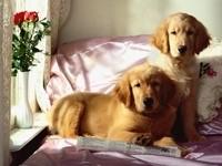 Пара золотистых ретриверов на постели