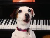 Джек Рассел терьер и пианино