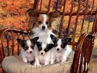 Чихуахау и щенки в кресле