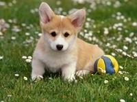 Милый щенок с мячом на траве