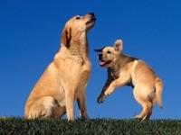 Игры собак - лабрадор
