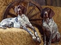 Две дратхаар в сарае на сене