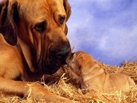 Бульмастиф и щенок на сене