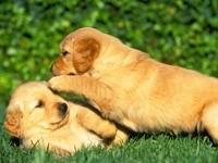 Игры щенков на траве