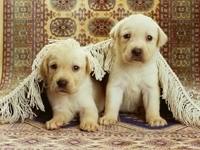 Пара щенков под покрывалом