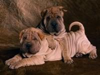 Два щенка шар-пея