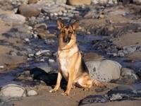 Немецкая овчарка на каменистом берегу