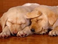 Сон пары щенков