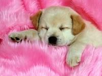 Сон щенка на розовом покрывале