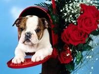 Бульдог в почтовом ящике и розы
