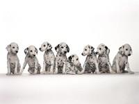 Восемь щенков далматинца
