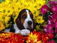 Бассет в цветах