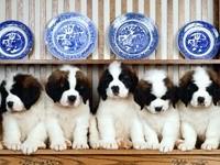 Пять щенков сенбернара