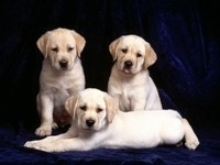 Три светлых  щенка лабрадора