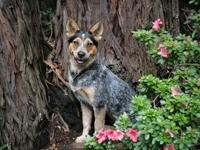 Трикси Голубой щенок Хилер