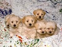 Шесть пушистых щенков