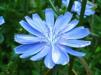 Цветущий цикорий
