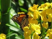 Желтый ирис с бабочкой