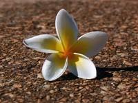 Плюмерия бело-желтая на земле