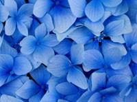 Небесного  цвета цветы