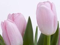 Три розового цвета тюльпана