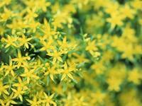 Желто-зеленные цветы