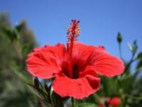Роза красного цвета