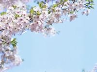 Ветка цветущей вишни с листьями