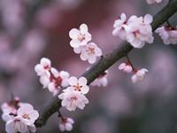 Цветы на ветке вишни