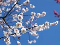 Цветущие ветки  дерева