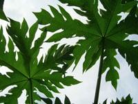 Два зеленых листка