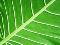Жилки на зеленом листке